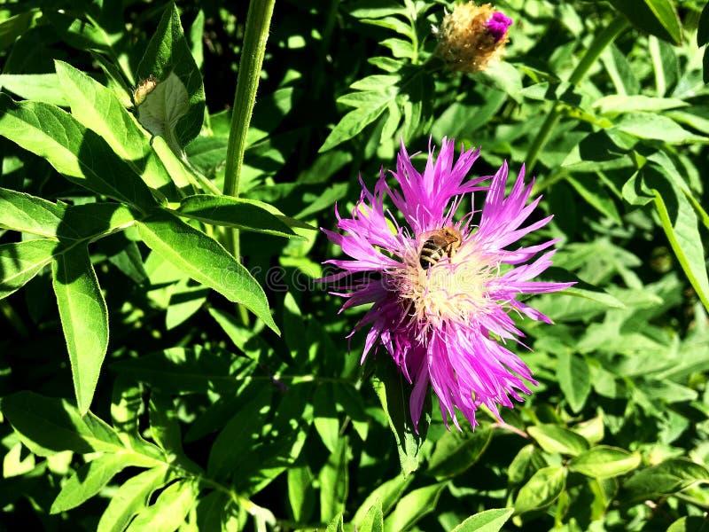 Oskrzydlona pszczoła wolno lata roślina, zbiera nektar zdjęcie stock