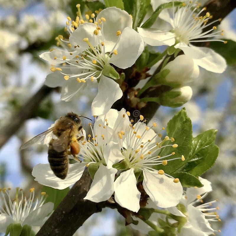 Oskrzydlona pszczoła wolno lata roślina, zbiera nektar dla miodu obraz royalty free