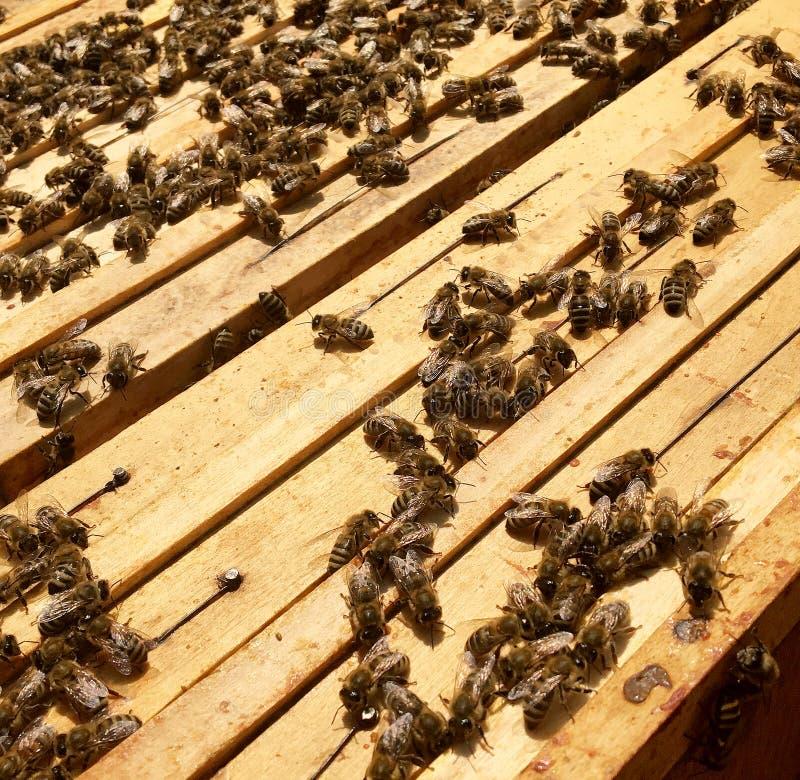 Oskrzydlona pszczoła wolno lata ul zbiera nektar na intymnej pasiece fotografia royalty free
