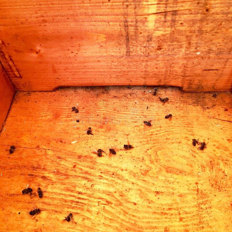 Oskrzydlona pszczoła wolno lata ul zbiera nektar na intymnej pasiece obraz stock