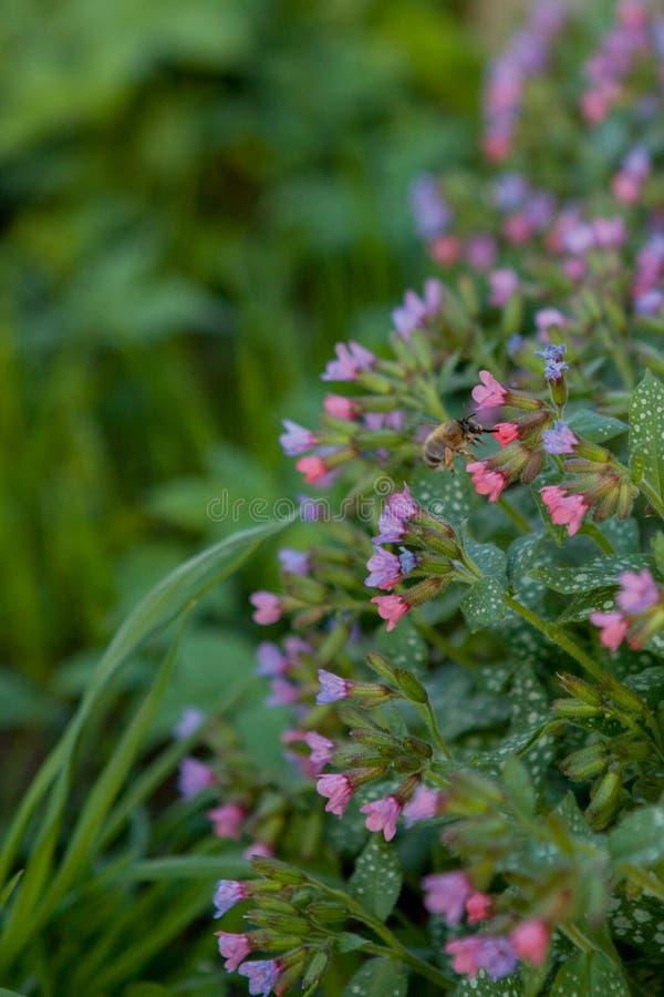 Oskrzydlona pszczo?a wolno lata ro?lina, zbiera nektar dla miodu na intymnej pasiece od kwiatu Miodowa fotografia sk?ada? si? z d fotografia stock