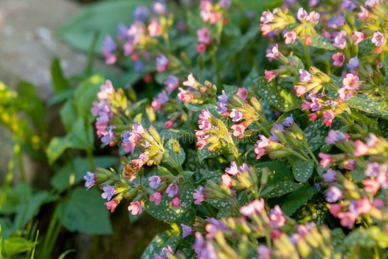 Oskrzydlona pszczo?a wolno lata ro?lina, zbiera nektar dla miodu na intymnej pasiece od kwiatu Miodowa fotografia sk?ada? si? z d zdjęcia royalty free
