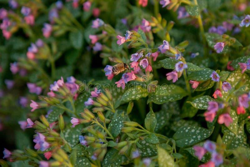 Oskrzydlona pszczo?a wolno lata ro?lina, zbiera nektar dla miodu na intymnej pasiece od kwiatu Miodowa fotografia sk?ada? si? z d obrazy royalty free