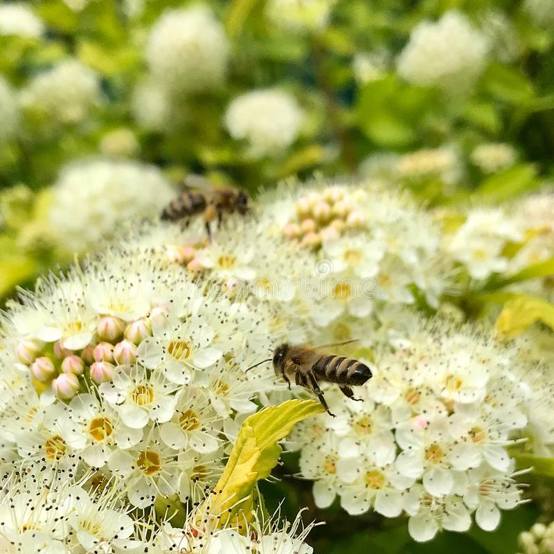 Oskrzydlona pszczo?a wolno lata ro?lina, zbiera nektar dla miodu na intymnej pasiece od kwiatu zdjęcia stock