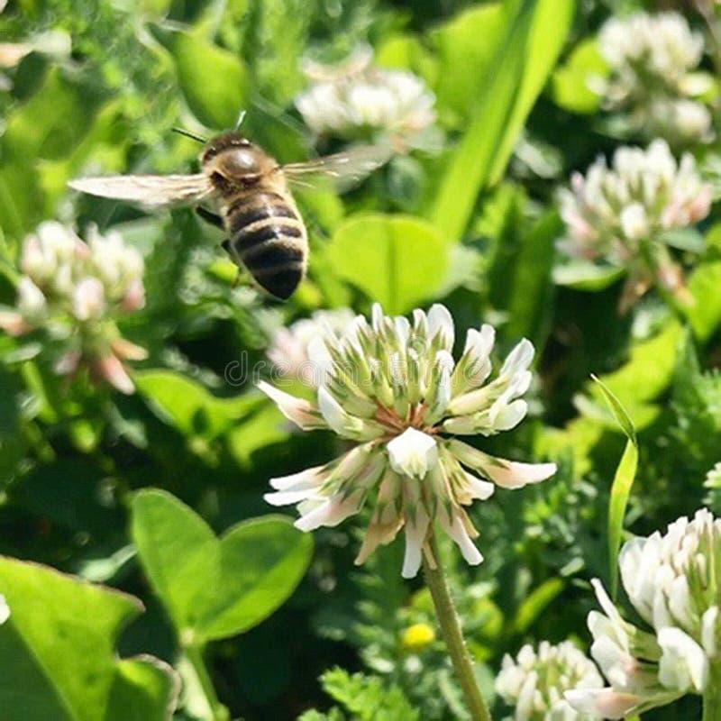 Oskrzydlona pszczo?a wolno lata ro?lina, zbiera nektar dla miodu na intymnej pasiece od kwiatu zdjęcie stock