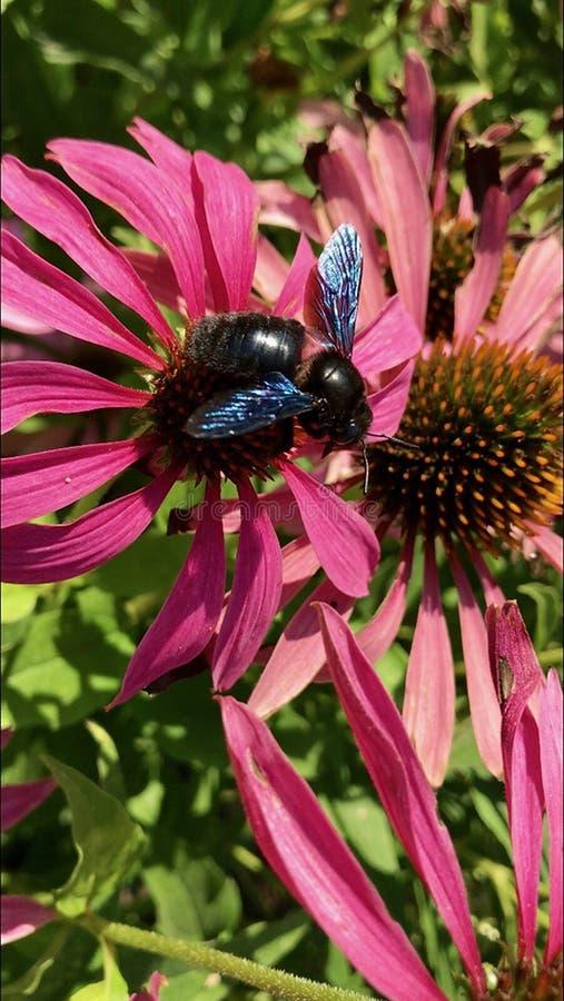 Oskrzydlona pszczo?a wolno lata ro?lina, zbiera nektar dla miodu na intymnej pasiece od kwiatu obrazy stock