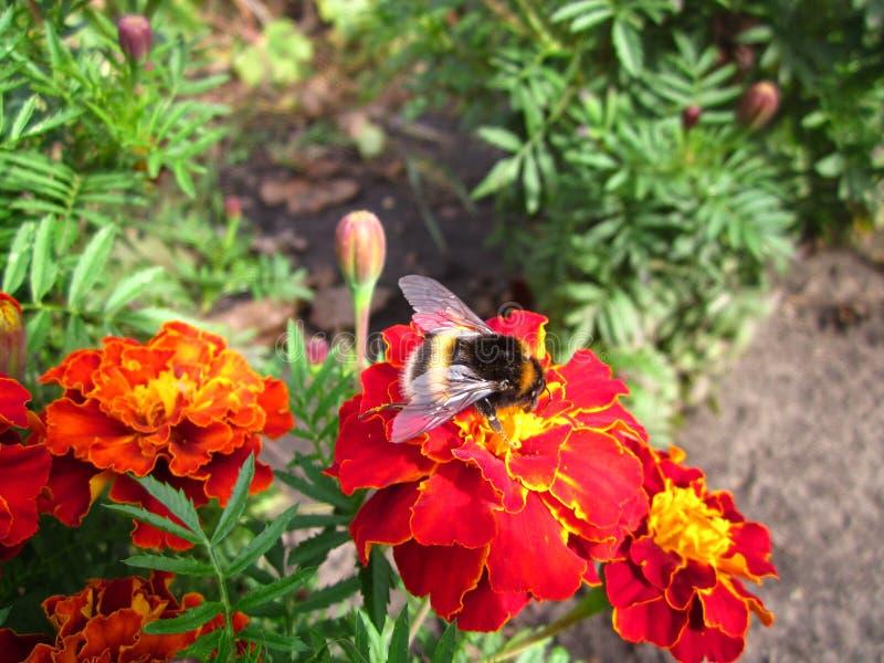 Oskrzydlony Bumblebee zdjęcia stock