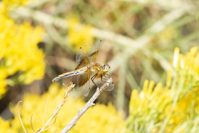 Oskrzydlony Meadowhawk Dragonfly Sympetrum semicinctum Umieszczał na gałąź obraz stock