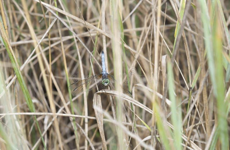 Oskrzydlony Meadowhawk Sympetrum semicinctum Umieszczał w Wysuszonej trawie zdjęcia royalty free