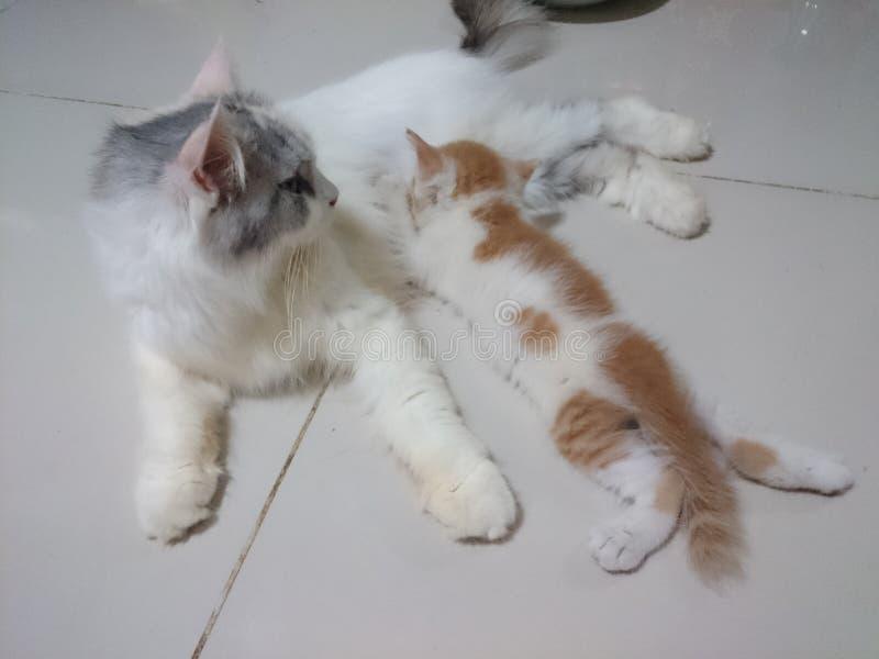 Oskrzydlony przyrzeczenie nowonarodzony figlarki łasowania mleko od macierzystego kota obrazy stock