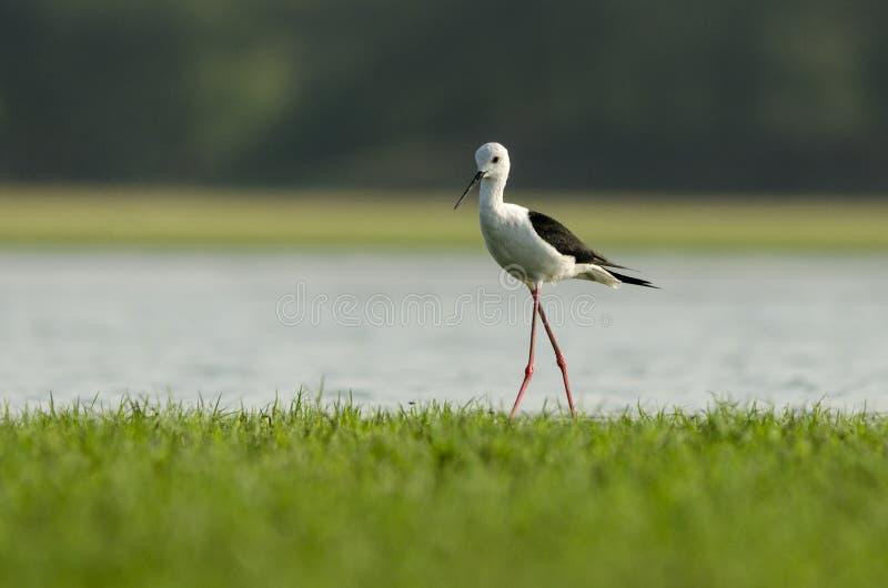 oskrzydlony ptasi czarny stilt obraz stock