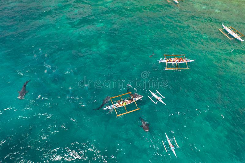 Oslob Whale Shark Watching in Philippines, Cebu Island. People snorkeling and and watch whale sharks from above. Tourists are watching whale sharks in the town royalty free stock photography