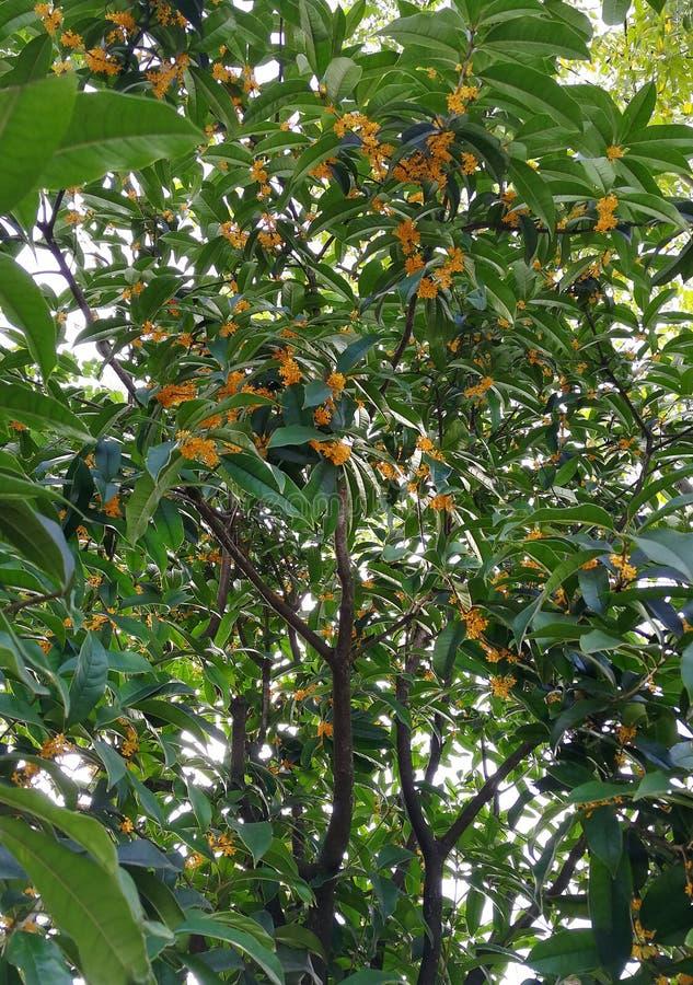 Osmanthus royaltyfria foton