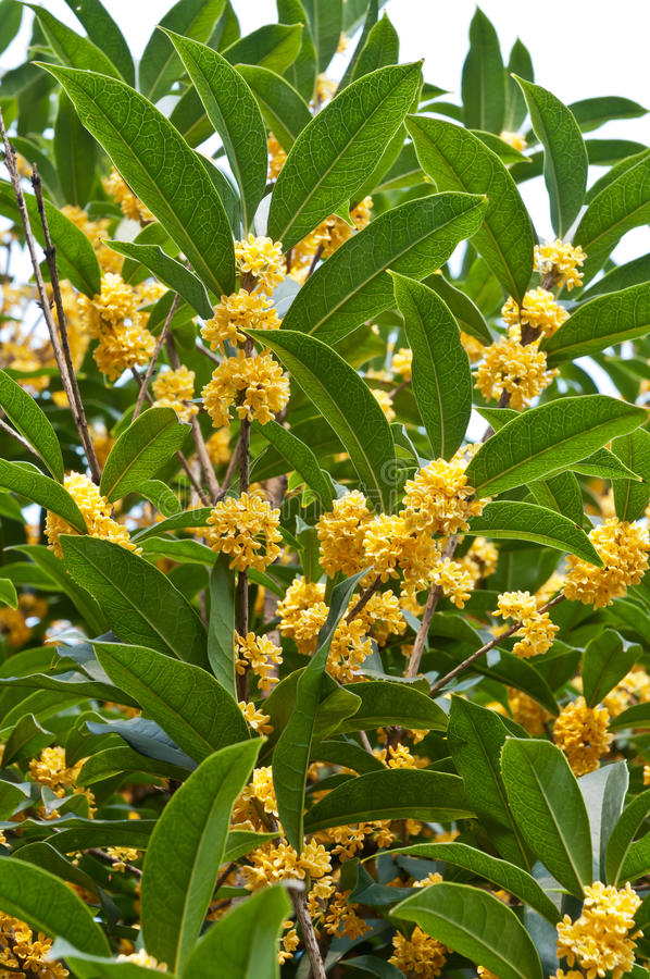 Osmanthus blooming stock image