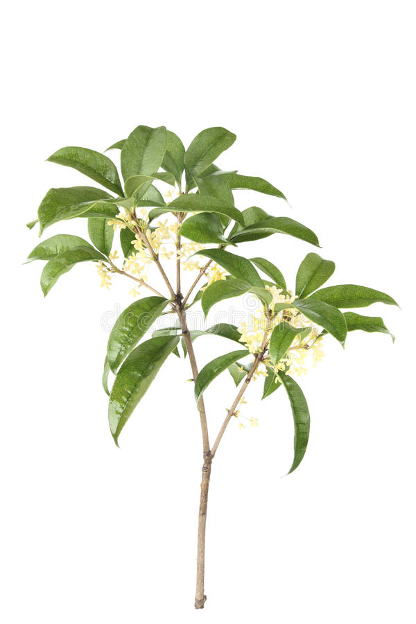Osmanthus branch royalty free stock image