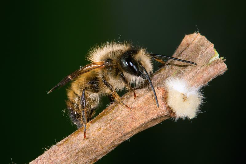 Osmia rufa, mason bee, pollinator. Osmia rufa comon name solitary mason bee, pollinator stock photo