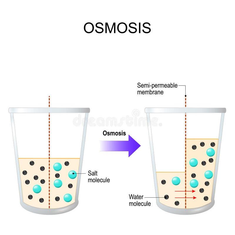 osmosis Vattenbortgång till och med ettgenomträngligt membran vektor illustrationer