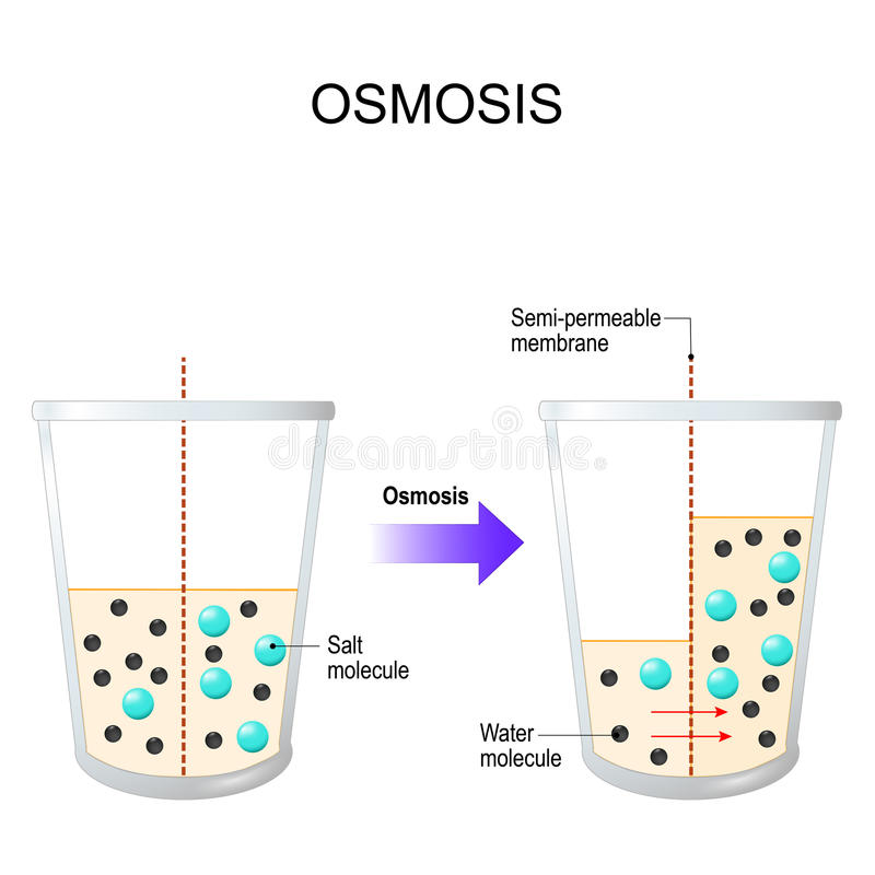 Osmosis Water Passing Through A Semi Permeable Membrane Stock