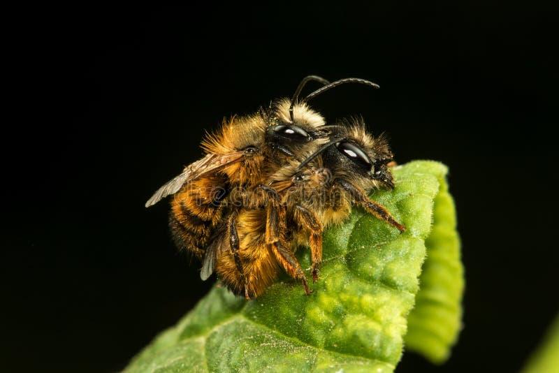 Osmu rufa, kamieniarz pszczoły kotelnia zdjęcia royalty free