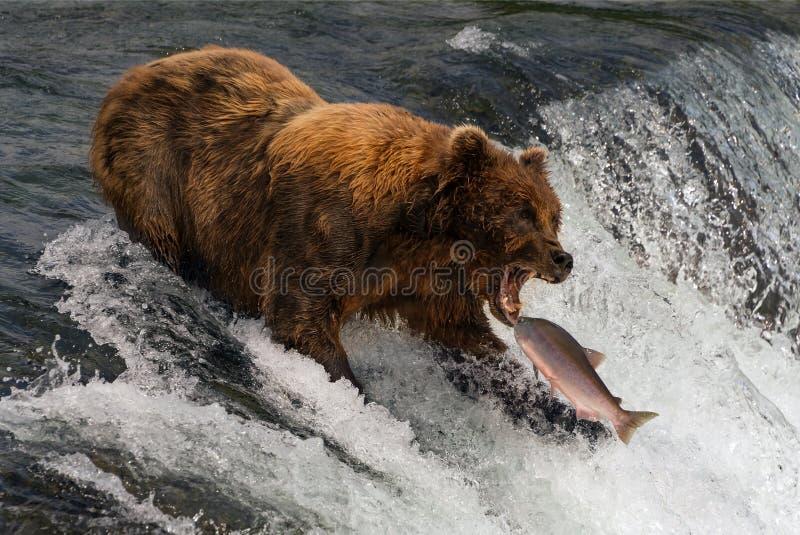 Oso alrededor para coger salmones en boca foto de archivo