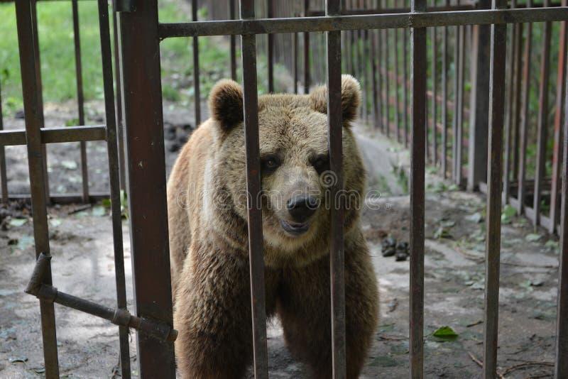 Oso cerrado en jaula del parque zoológico fotos de archivo