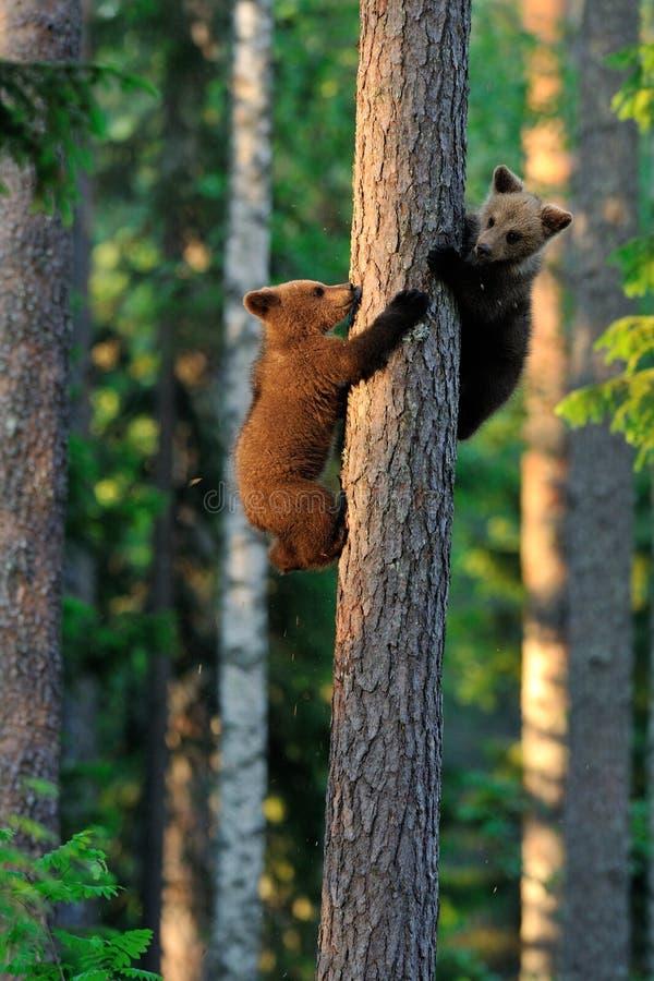Oso Cubs de Brown imagen de archivo libre de regalías