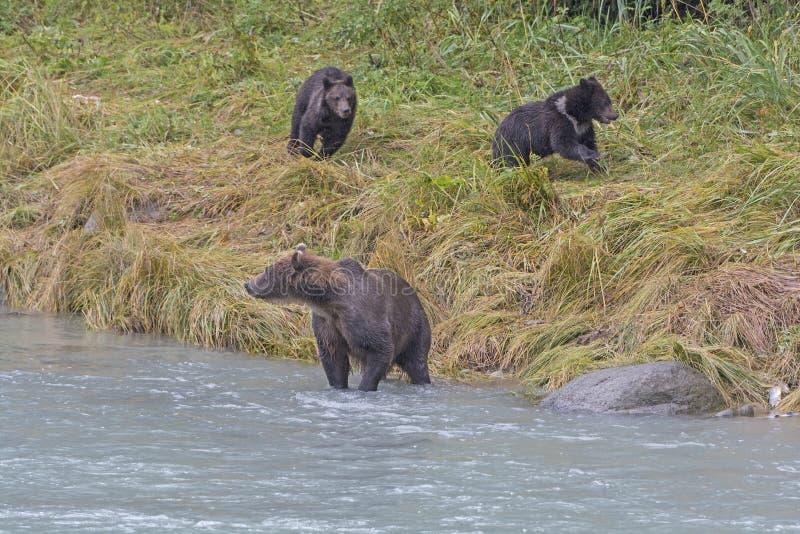 Oso Cubs que juega mientras que la mamá está pescando foto de archivo