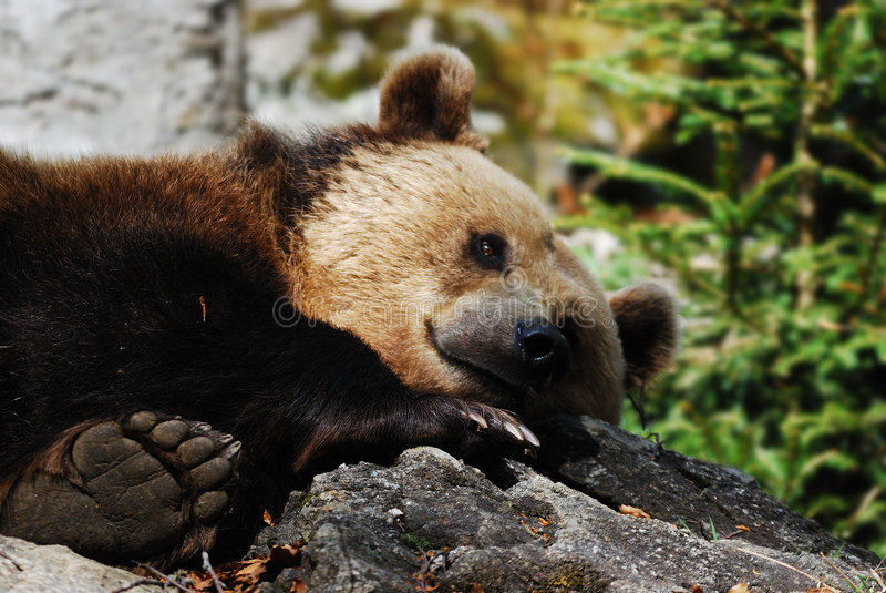 Oso de Brown (arctos del Ursus) foto de archivo libre de regalías