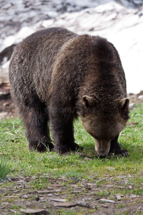 Oso de Brown en la montaña Vancouver del urogallo foto de archivo