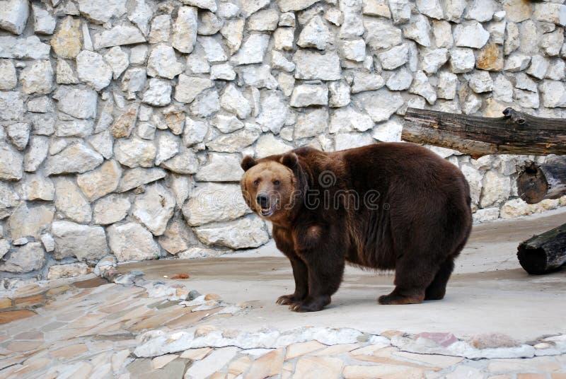 Oso de Brown Mamífero depredador del oso de la familia, uno de los depredadores más grandes de la tierra Parque zoológico de Mosc imagen de archivo