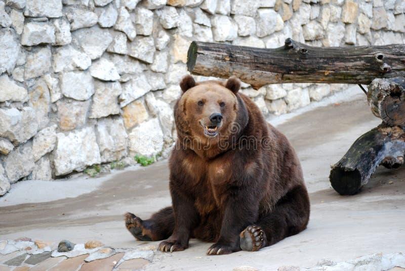 Oso de Brown Mamífero depredador del oso de la familia, uno de los depredadores más grandes de la tierra Parque zoológico de Mosc imagen de archivo libre de regalías