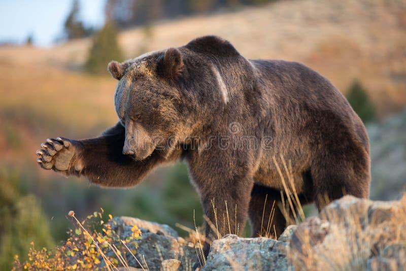 Oso de Brown norteamericano (oso del grisáceo) fotos de archivo