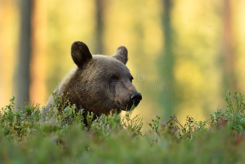 Oso de Brown que descansa en bosque con el fondo del bosque imagenes de archivo