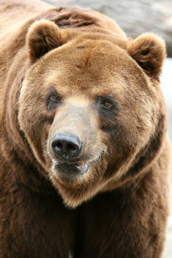 Oso de Kamchatka Brown imagen de archivo
