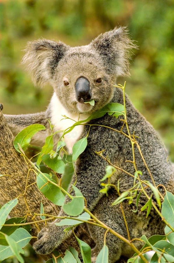 Oso de Koala imagenes de archivo