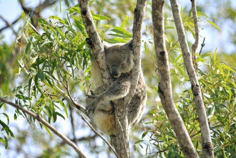 Oso de Koala fotografía de archivo