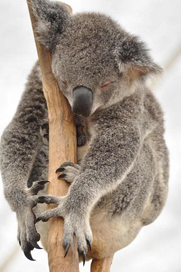 Oso de koala de sueño dulce. imagenes de archivo