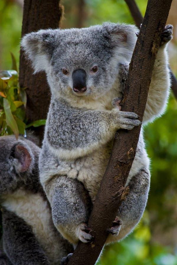 Oso de Koala en un árbol foto de archivo libre de regalías
