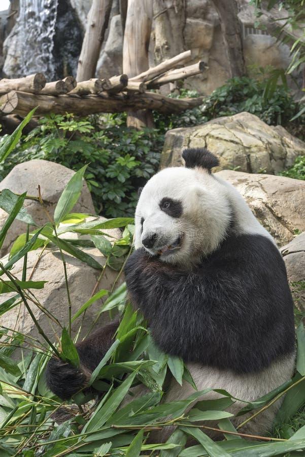 Oso de panda gigante fotos de archivo
