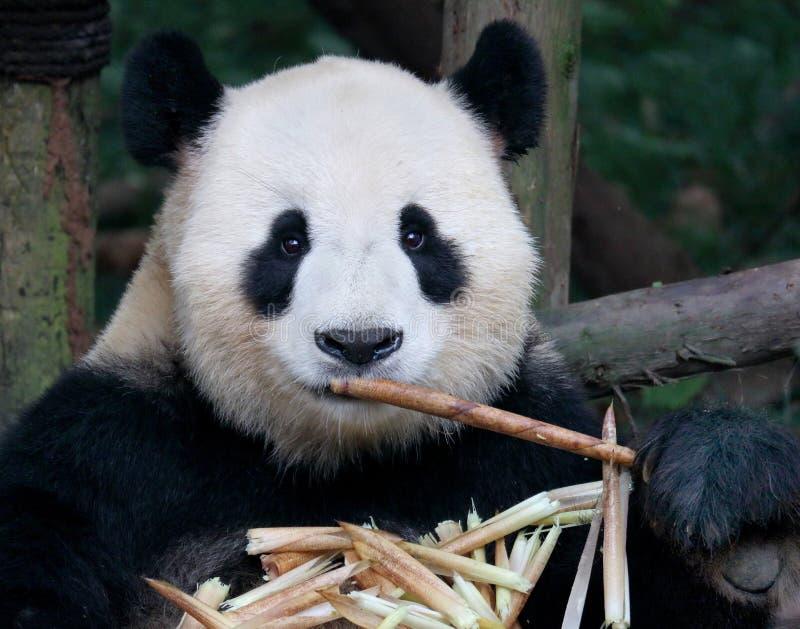 Oso de panda gigante que come el bambú fotografía de archivo