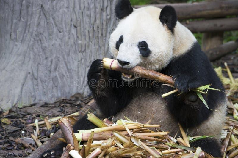 Oso de panda gigante que come el bambú imagen de archivo libre de regalías