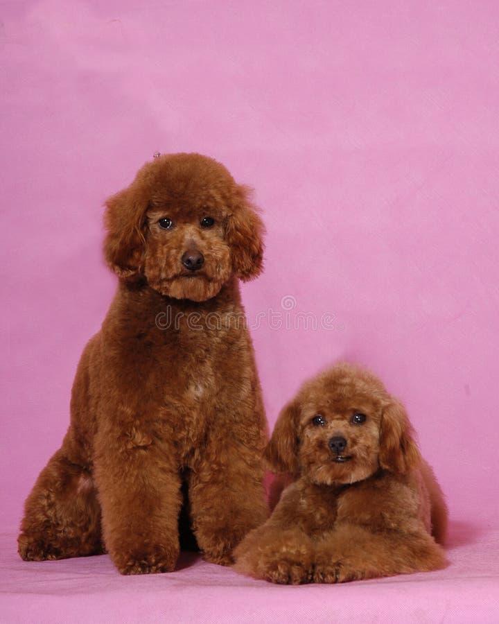 Oso de Poodles&teddy de dos juguetes foto de archivo libre de regalías