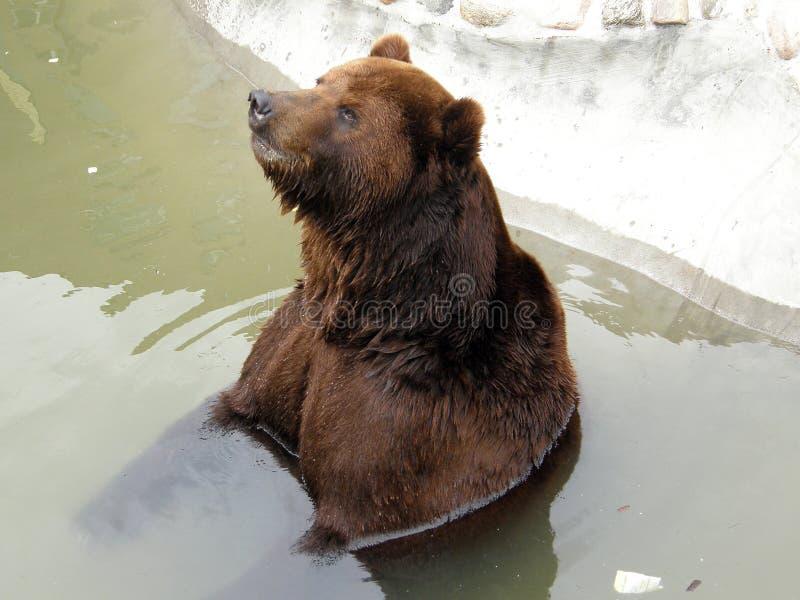 Oso en el parque zoológico de Moscú imagen de archivo libre de regalías