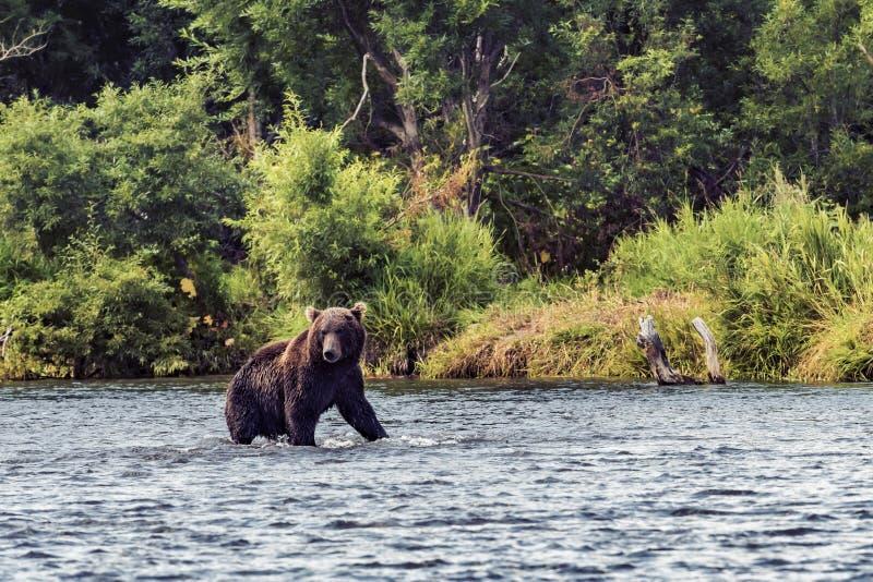 Oso en Kamchatka Un oso marr?n en el agua en Kamchatka, Rusia foto de archivo libre de regalías
