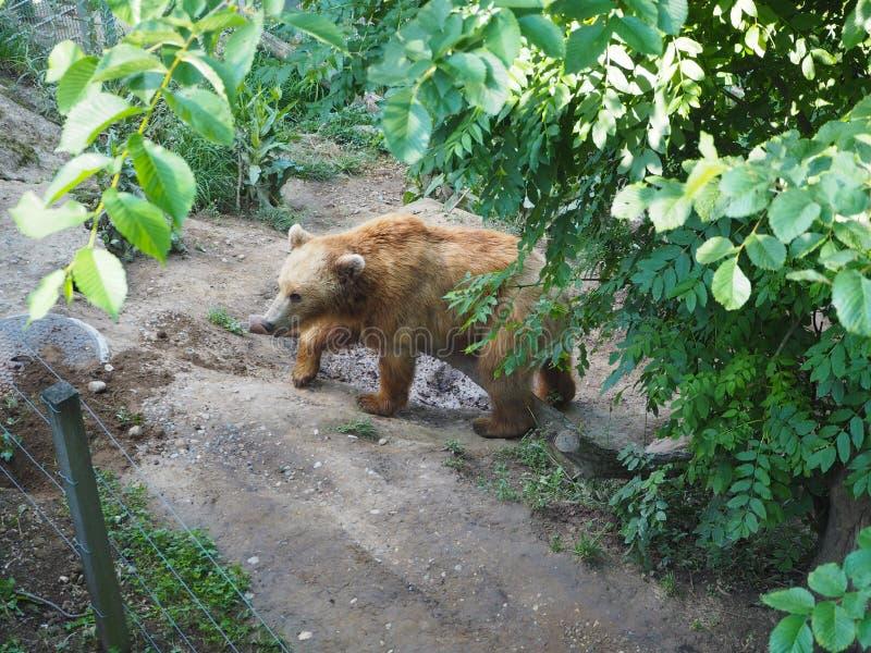 Oso en parque del oso en Bern Switzerland imagenes de archivo