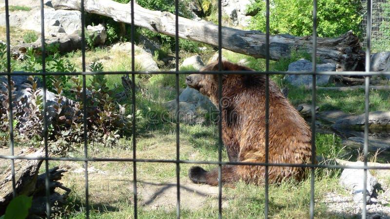 Oso enjaulado en parque zoológico fotos de archivo
