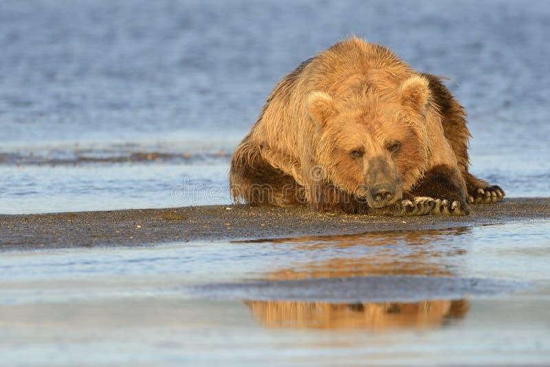 Oso grizzly fotos de archivo