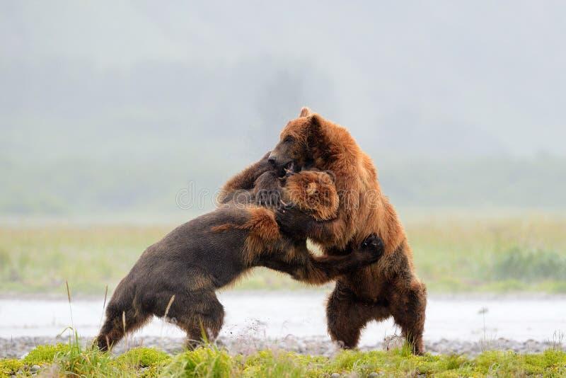 Oso grizzly foto de archivo libre de regalías