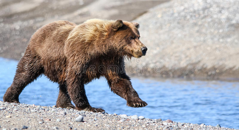 Oso grizzly de Alaska Brown que corre cerca de cala foto de archivo libre de regalías
