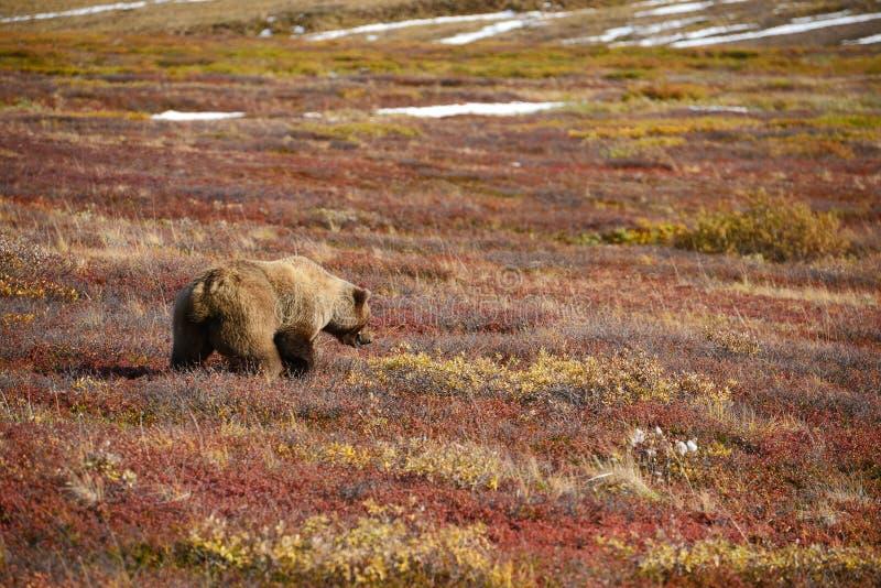 oso grizzly en denali fotografía de archivo